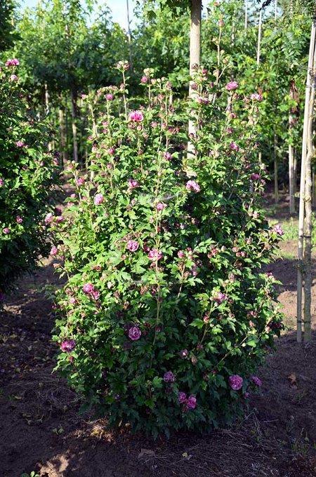 hibiscus syriacus 39 duc de brabant 39 septemberroos. Black Bedroom Furniture Sets. Home Design Ideas