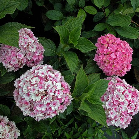 hydrangea macrophylla 39 together 39 r hortensia waterstruik. Black Bedroom Furniture Sets. Home Design Ideas