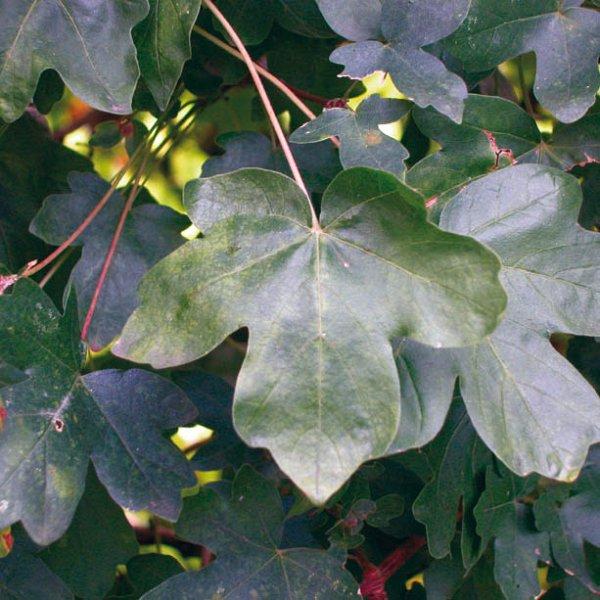 Acer Campestre Elsrijk Field Maple