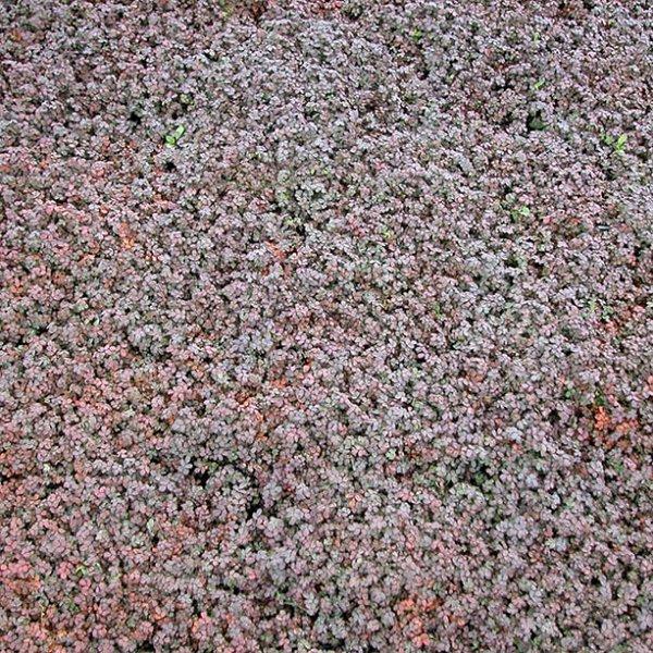 Acaena Microphylla Kupferteppich New Zealand Bur