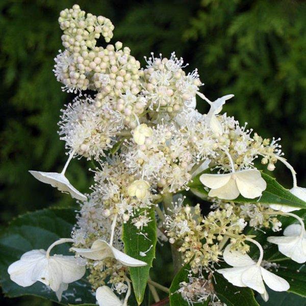 hydrangea paniculata 39 kyushu 39 hortensia waterstruik. Black Bedroom Furniture Sets. Home Design Ideas