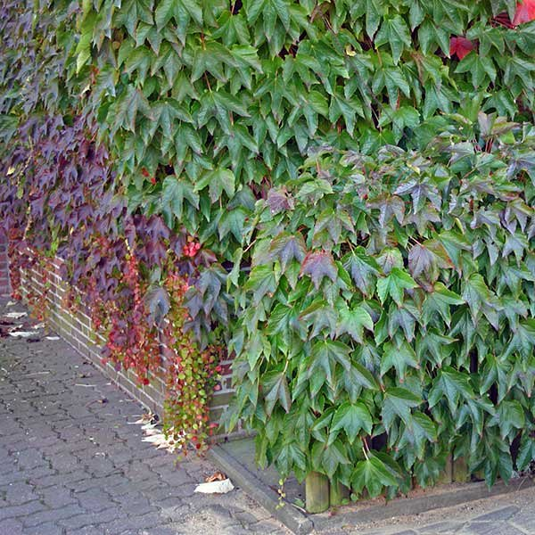 parthenocissus tricuspidata 39 veitchii 39 ampelopsis vigne vierge. Black Bedroom Furniture Sets. Home Design Ideas